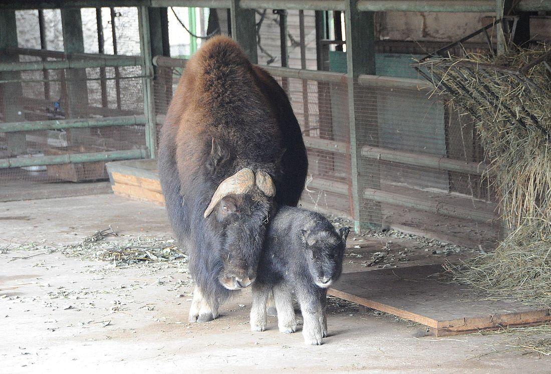 Овцебыки в вольерном комплексе «Полярно-Уральский» на Ямале