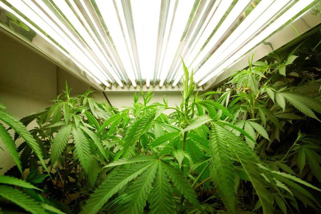 Выращивание конопли в документальный фильм марихуане
