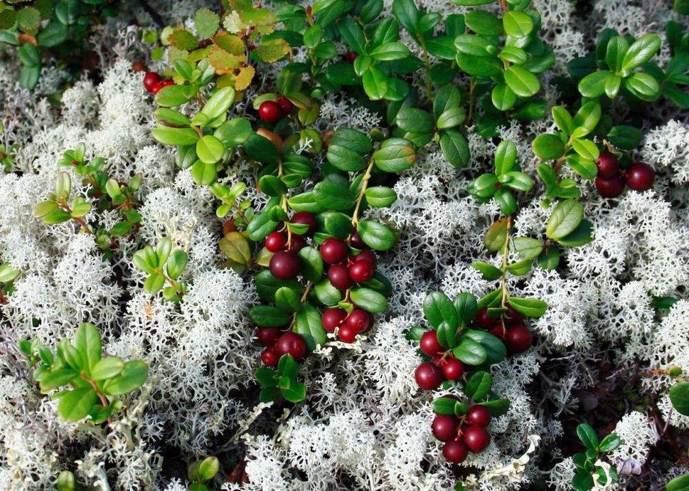Олений мох и брусника