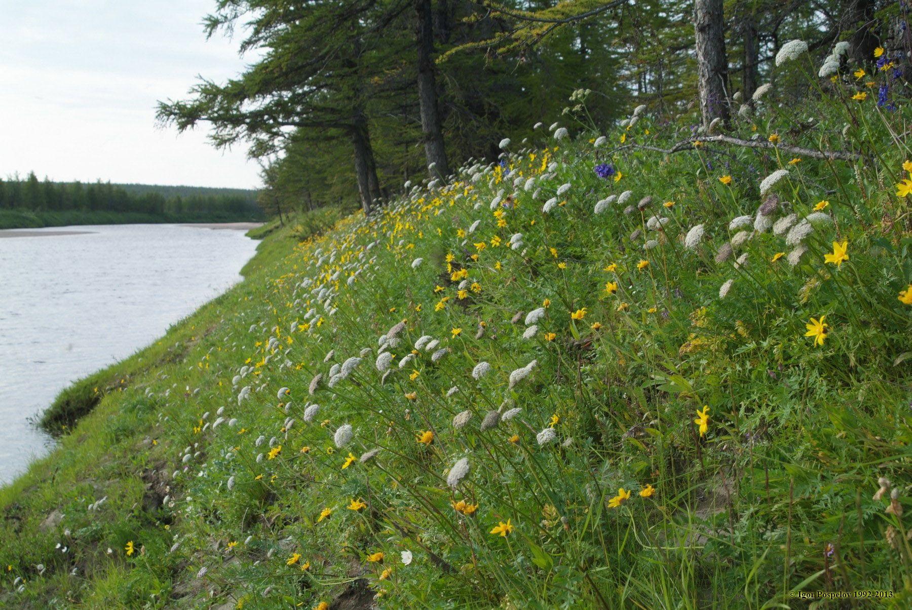 цветы и цветки Биосферный заповедник Таймырский