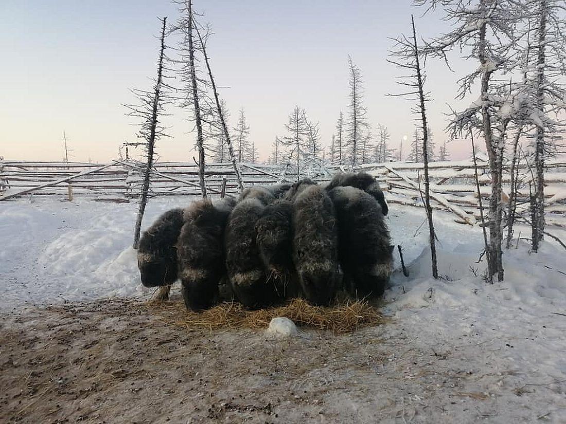 Ферма по разведению овцебыков в таймырском поселке Волочанка