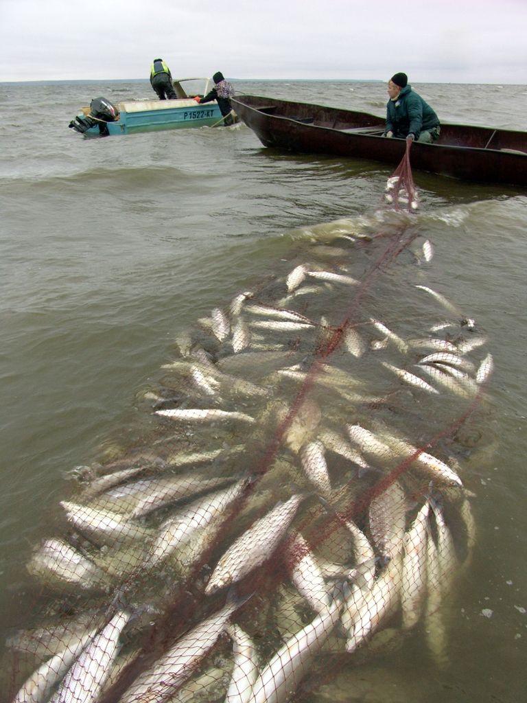 Свыше тысячи заявок на добычу рыбы в следующем году подали представители КМН Таймыра