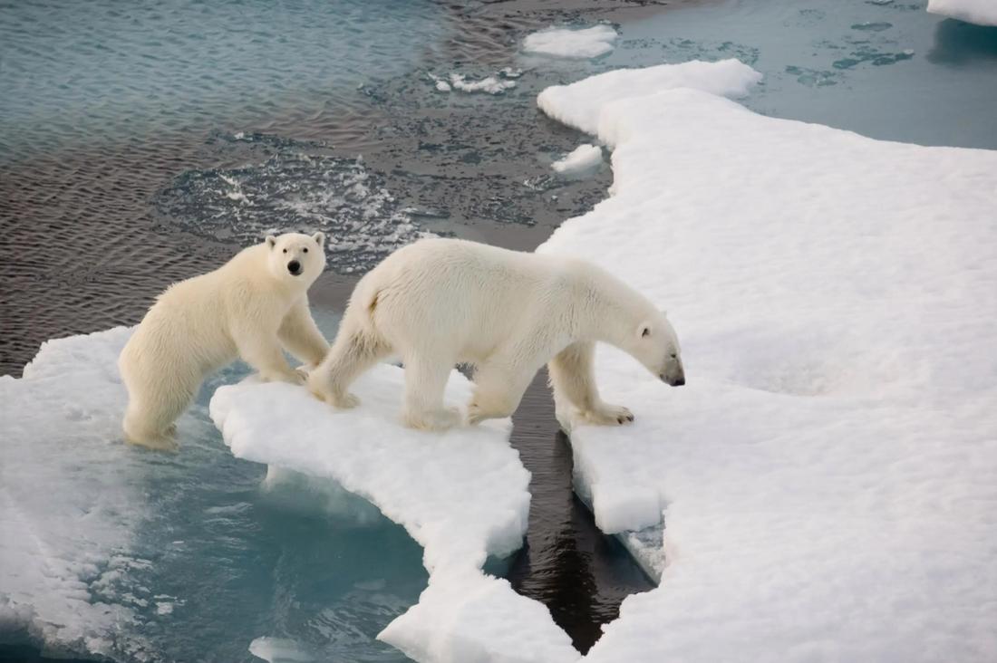Ученые начали авиаучет полярных медведей