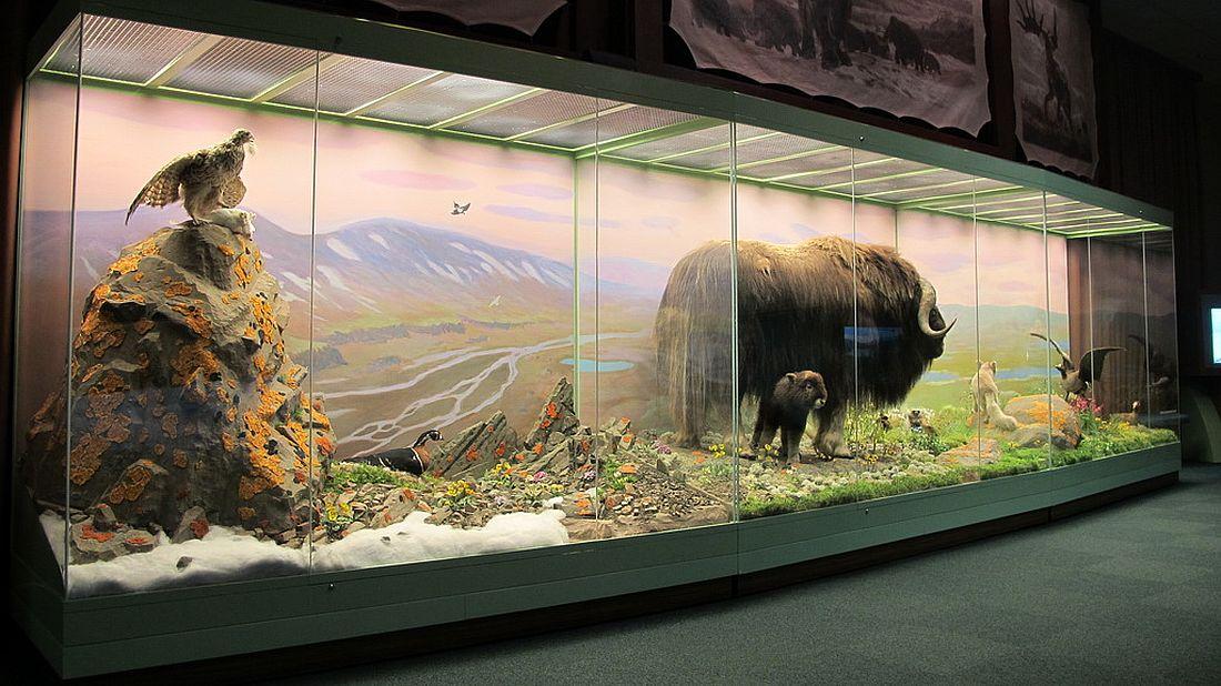 Одна из экспозиций, рассказывающих о фауне Таймыра