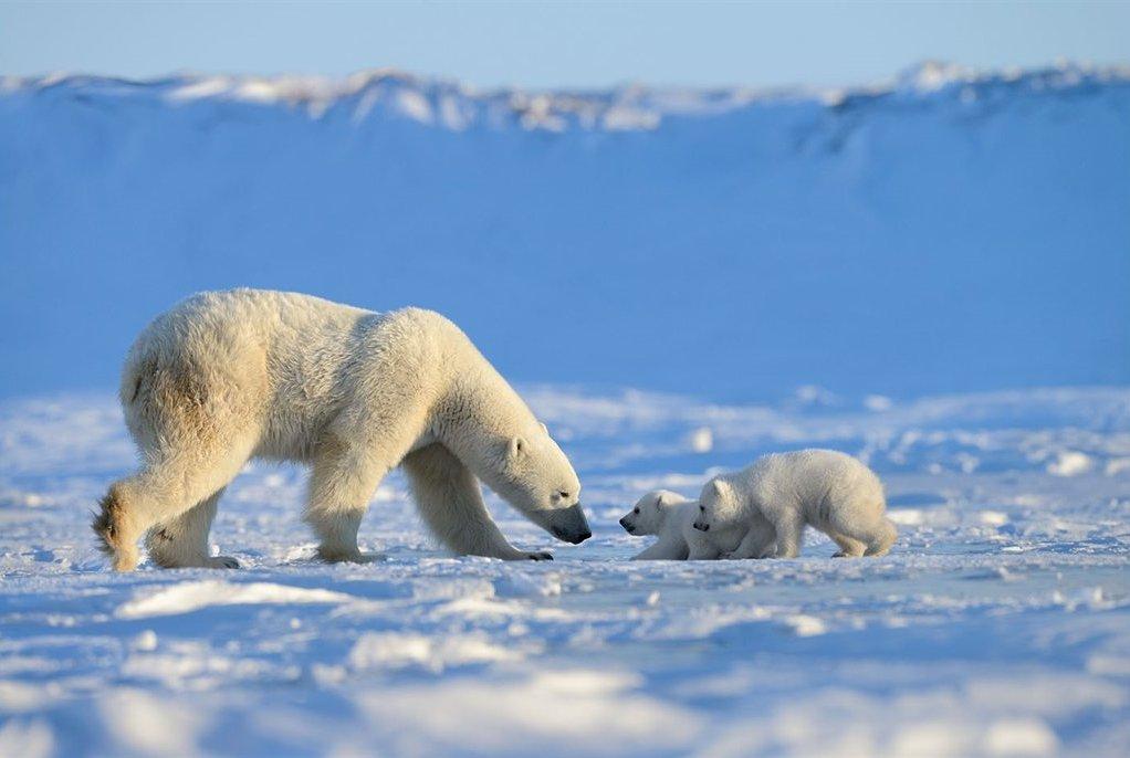 Ученые опасаются, что к концу века белые медведи исчезнут
