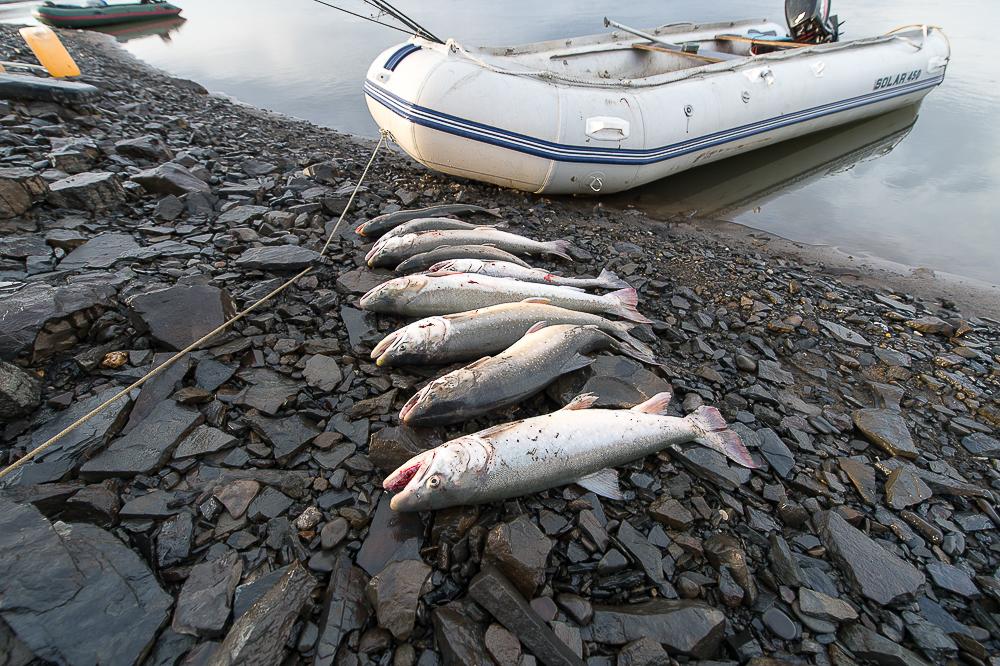 Рыбалка на Таймыре. Голец – любимая рыба многих местных жителей