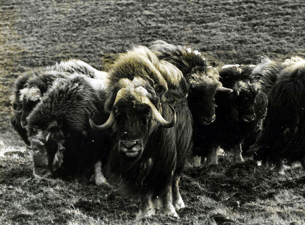 В 1978-м на Таймыре появилось первое потомство новой популяции овцебыков