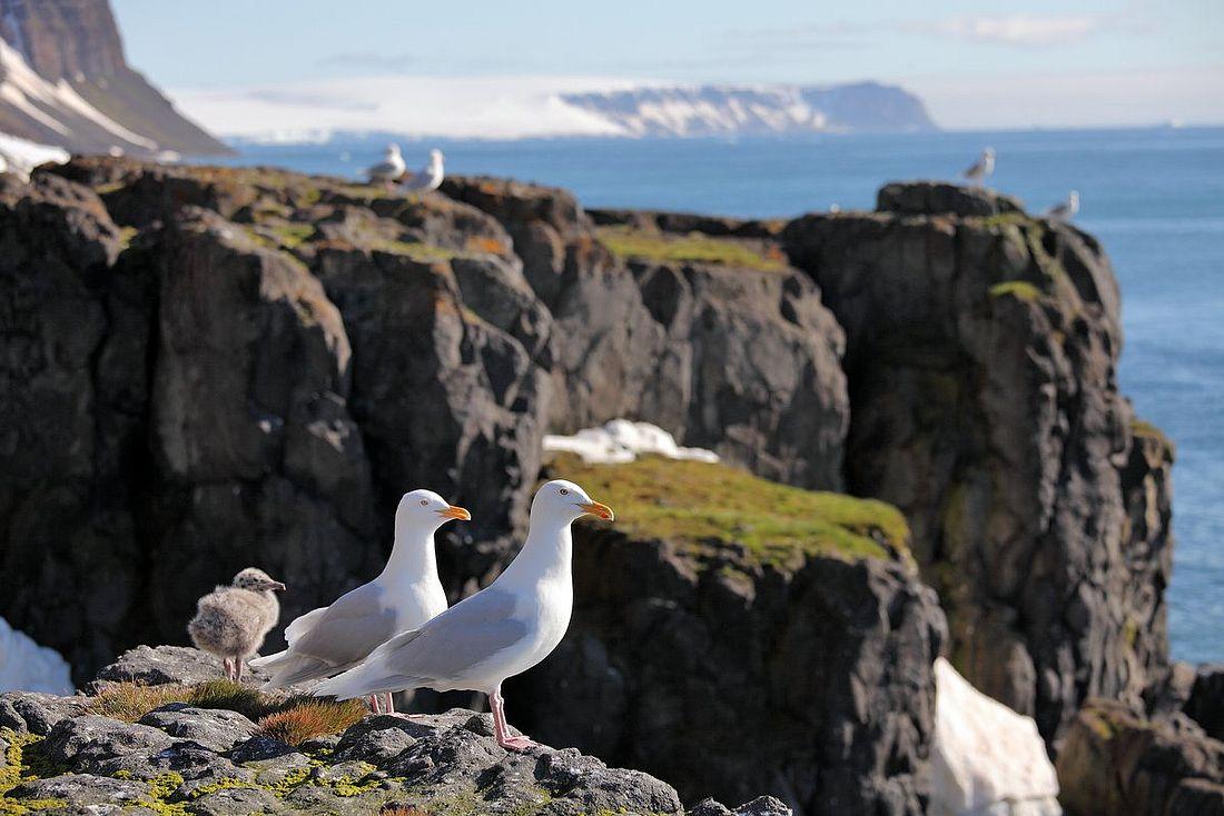 Чайки на Земле Франца-Иосифа. Эти птицы – старожилы Арктики