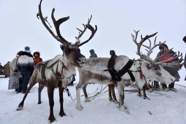 Таймыр предлагает ужесточить штрафы за незаконную добычу пантов северного оленя