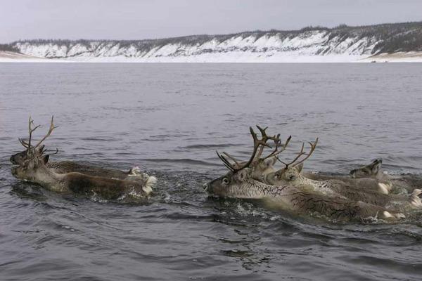 """Участники экспедиции """"Хета – Хатанга – 2018"""" и власти Таймыра объединились для сохранения популяции северных оленей"""