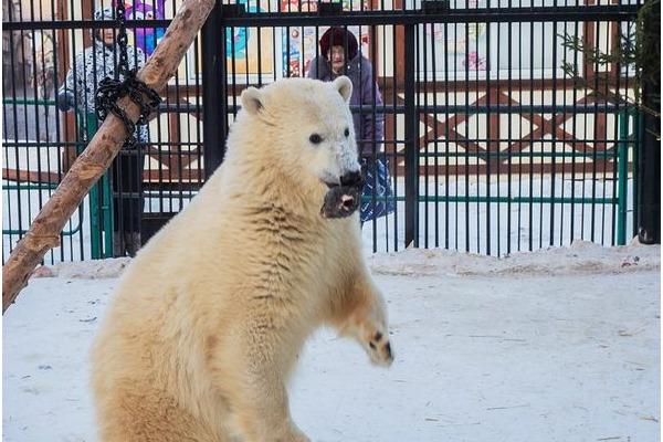 Школьники из поселка Диксон написали эссе о медведице Урсуле