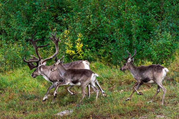 Пути миграции северных оленей отследят с помощью спутниковых ошейников