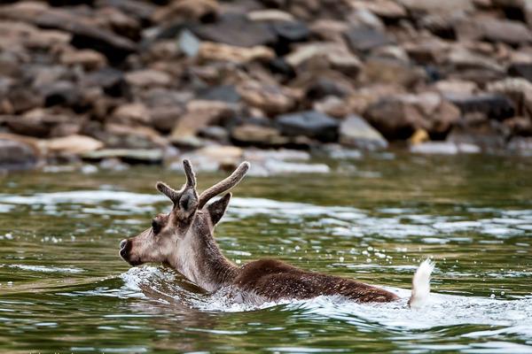 На Таймыре прошли масштабные рейды по пресечению браконьерства