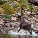 Из-за изменения климата дикие северные олени меняют сроки миграции