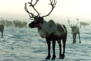 Сложившуюся на Таймыре ситуацию с перепромыслом дикого северного оленя обсудили в Дудинке