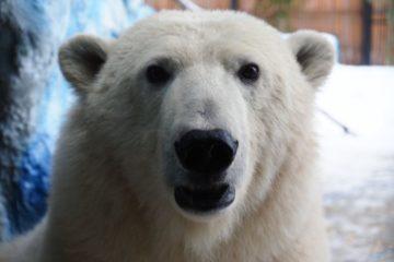 """Урсула отпраздновала свой первый День белого медведя в парке """"Роев ручей"""""""