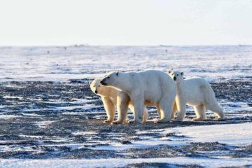27 февраля отмечается Международный день белого медведя