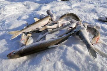 В прошлом году в крае изъято более 23 тонн незаконно выловленной рыбы
