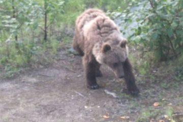 Молодой медведь продолжает бродить в окрестностях Норильска