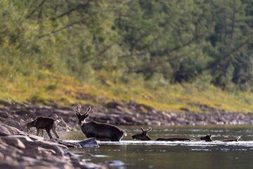 Популяция дикого северного оленя – на грани исчезновения