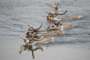 На Таймыре планируют скорректировать сроки охоты на дикого оленя и увеличить штрафы за срез пантов