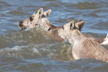 Дикий северный олень стал символом года для «Заповедников Таймыра»