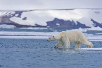 «Роснефть» начала масштабное изучение животных в Арктике