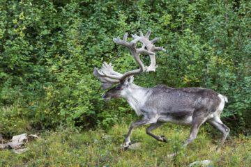 Ученые рассказали об уникальной физиологии северного оленя