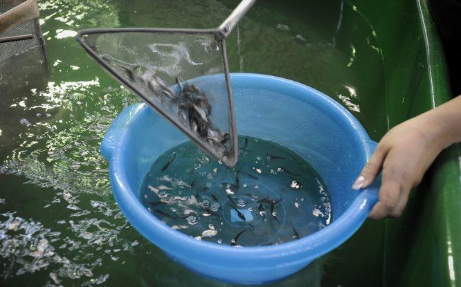 На Таймыре хотят построить новый рыбоинкубационный завод