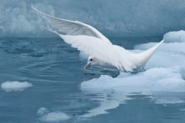 «Роснефть» приступила к исследованиям белой чайки в Арктике