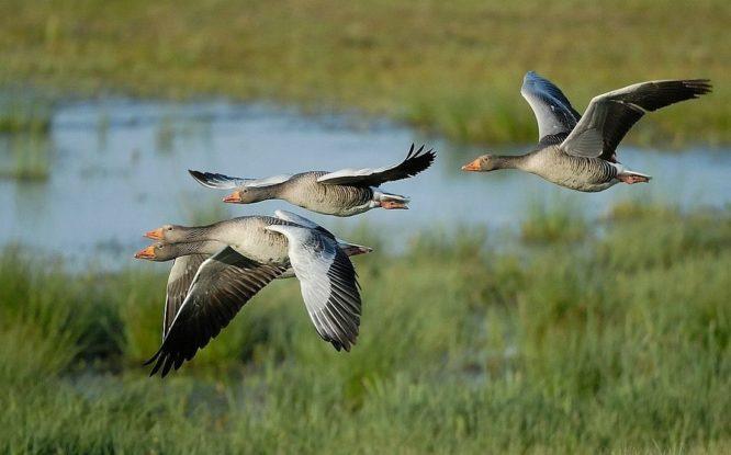 Запрет охоты на гусей не коснется таймырских охотников