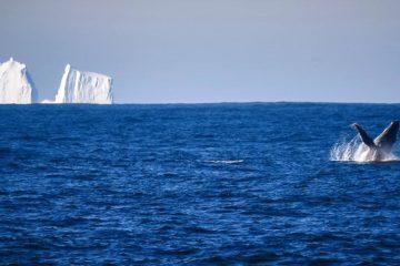 От ледника в Гренландии откололся огромный айсберг