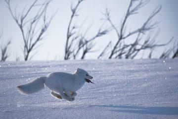 Песцы помогают ученым исследовать Арктику
