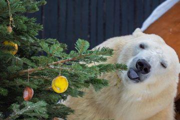 В красноярском зоопарке белым медведям нарядили вкусную елку