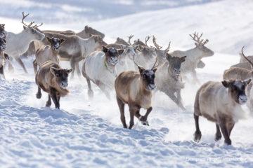 Биологи провели масштабную экспедицию по изучению путей миграции северного оленя