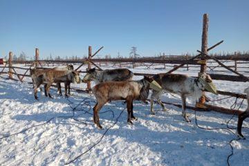 В Волочанку на вертолете привезли десять оленей