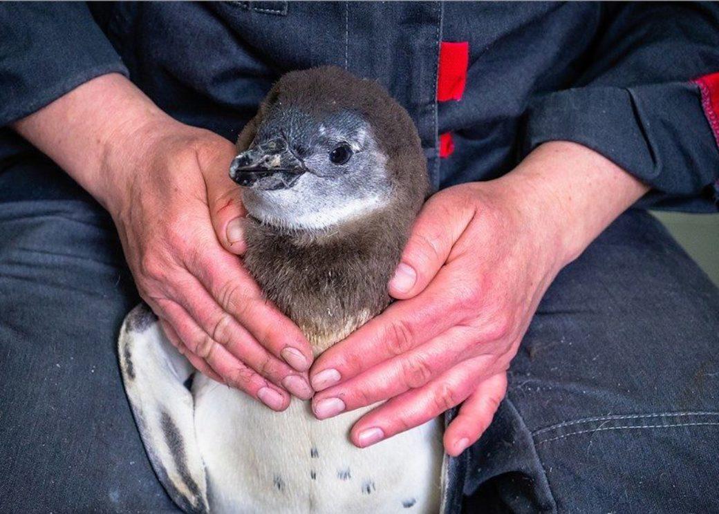 В Красноярске выбрали имя для новорожденного пингвиненка
