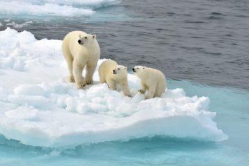 Ученые изучили поведение северных медведиц на Земле Франца-Иосифа