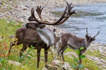 На Таймыре вновь подсчитают диких северных оленей