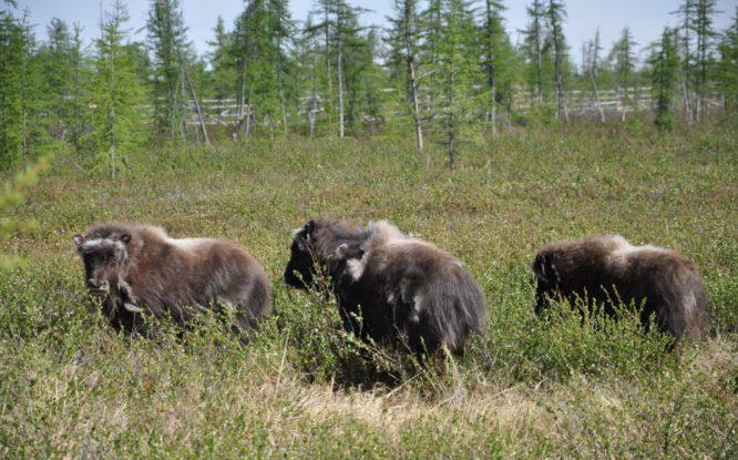 Ямальские овцебыки увидели первое лето на Таймыре