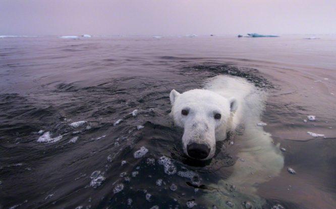 Последнее прибежище белых медведей начало таять