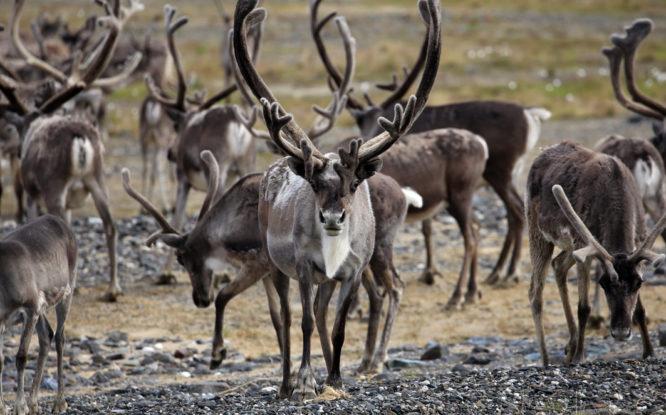 Причиной смерти 1200 оленей в Хатанге назвали воду в легких