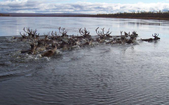Стрелять в оленей во время водной переправы запрещает закон
