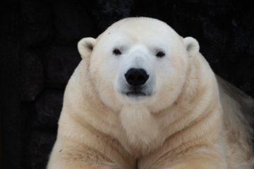 Медведей парка «Роев ручей» готовят к зимней спячке