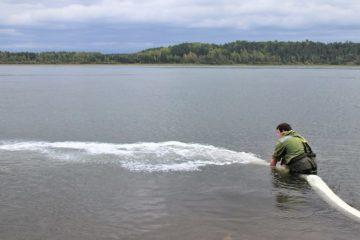 Енисейское пароходство выпустило в реку молодых осетров