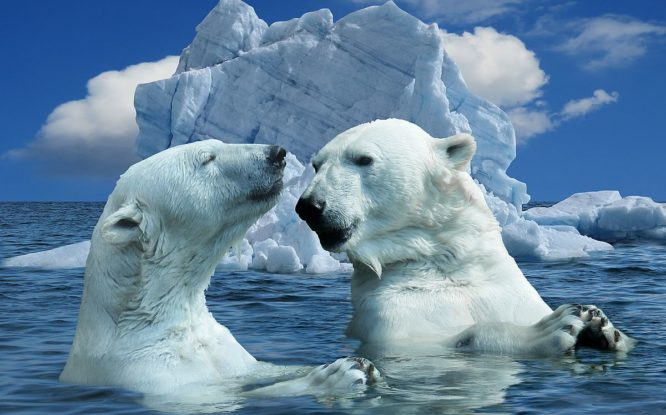 «Охотиться на белых медведей в России никто не разрешит»