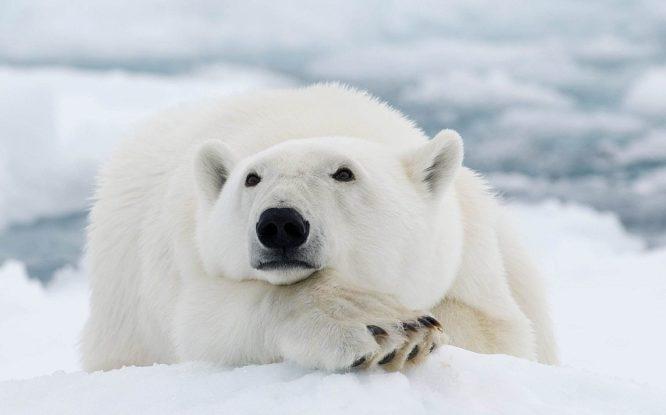 Почему белые медведи выходят к людям?