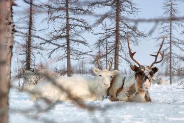 Эксперт с Ямала поделился с таймырцами опытом производства оленины