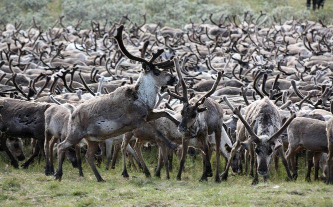 Ученый назвал причины массовой гибели оленей на Таймыре в августе